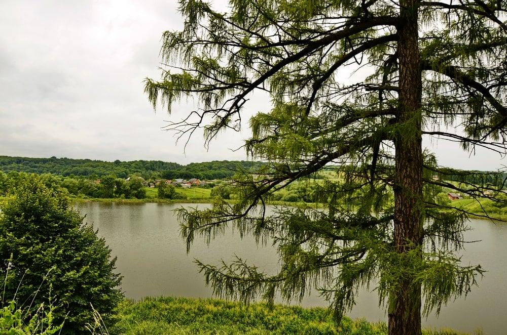 Serene greenery with European larch tree.