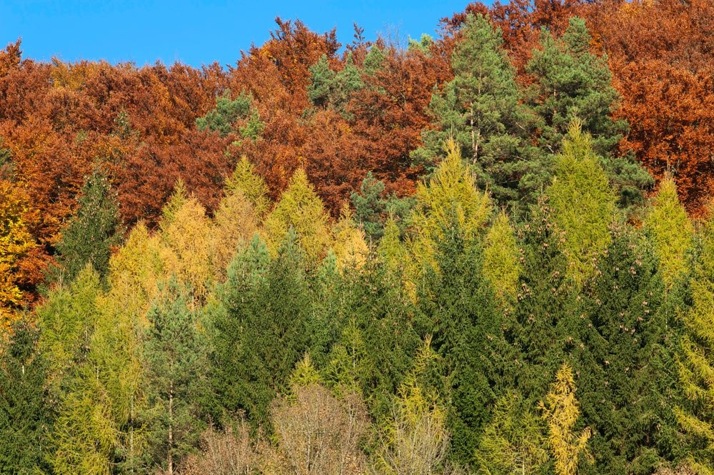 European larch trees with stunning autumn colors.