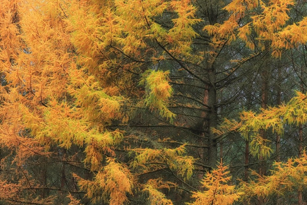 European larch trees with autumn leaves.