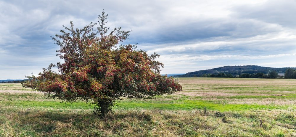 A mature hawthorn tree growing on a field.