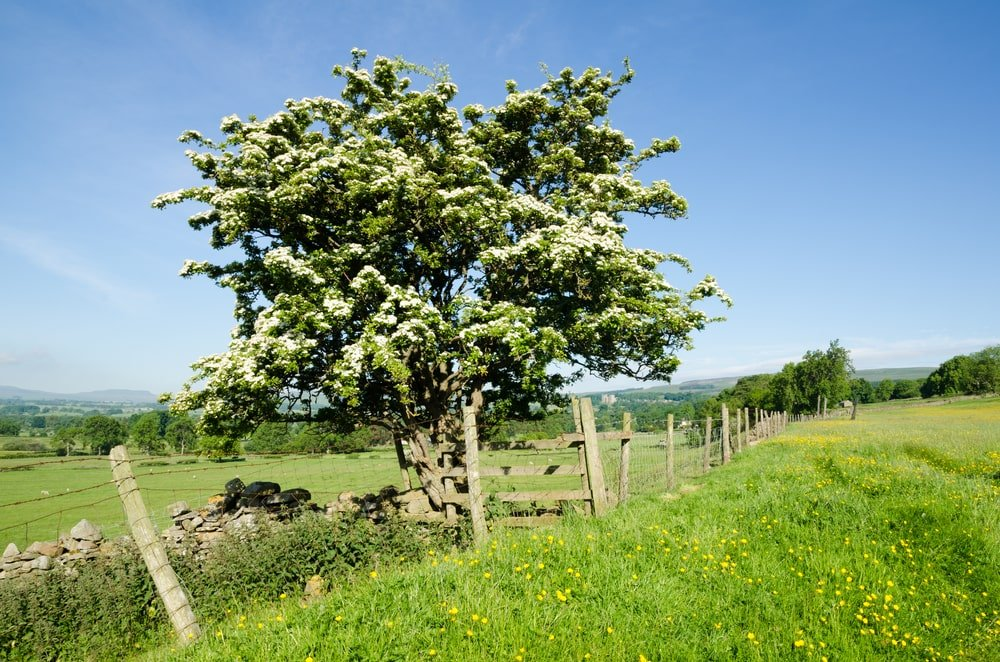 A blooming hawthorn tree at a field.