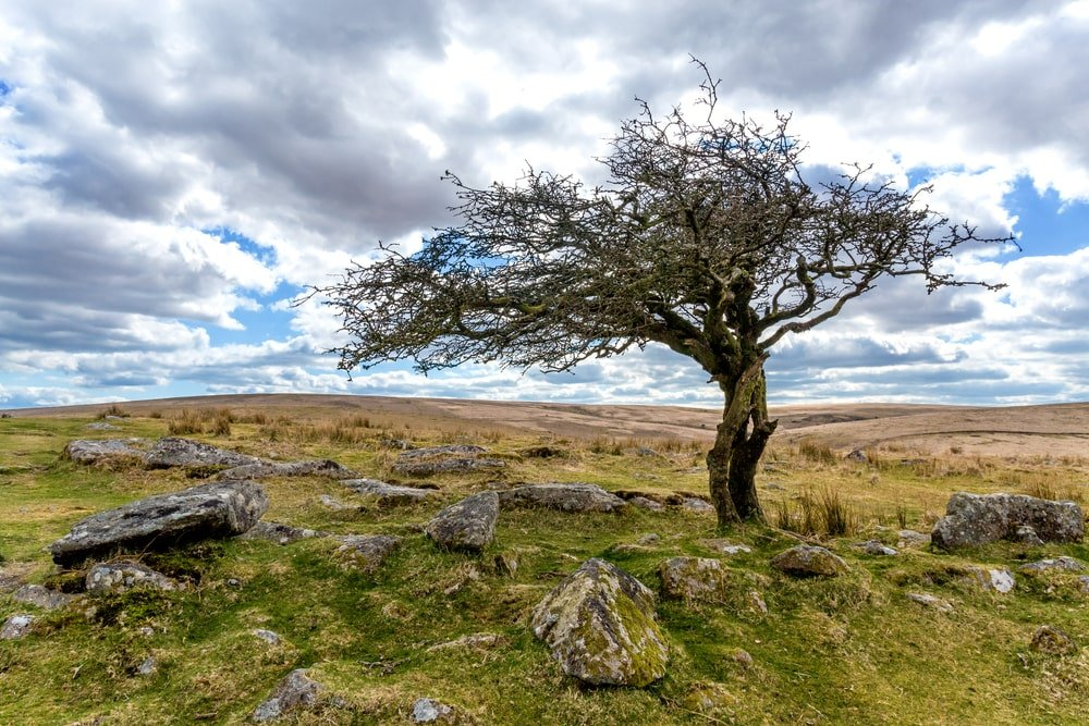 A dried up hawthorn tree at a rocky field.