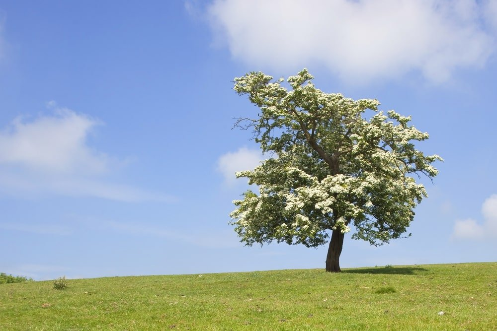 A blooming hawthorn tree at a grassy hilltop.
