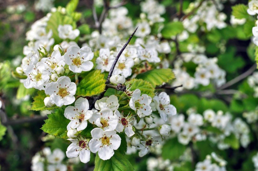 A close look at clusters of hawthorn tree blooms.