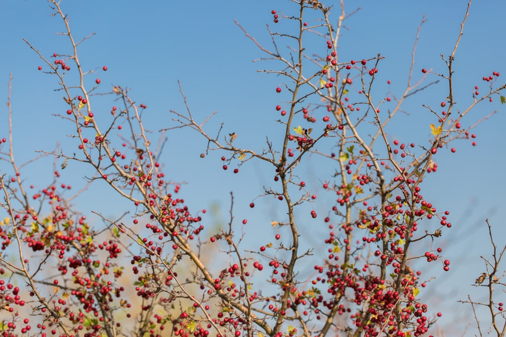 This is a close look at the branches of a hawthorn tree during autumn.
