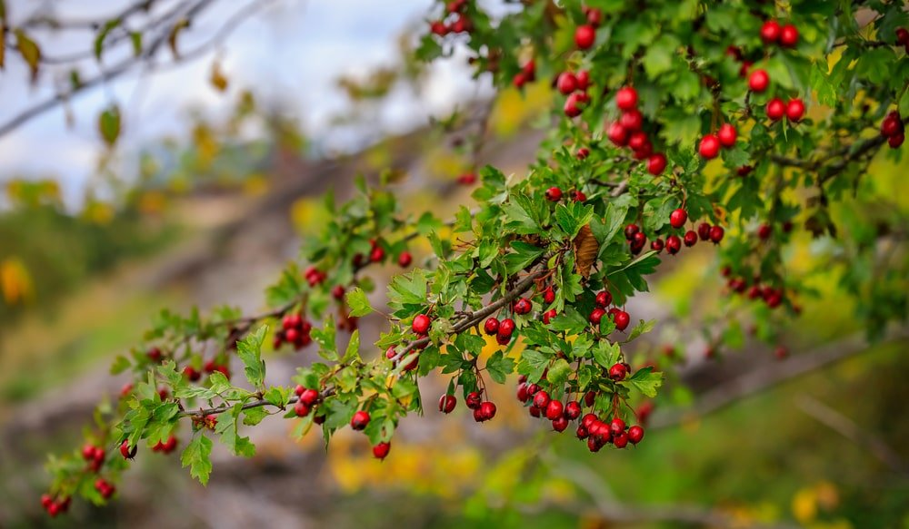 A close look at clusters of hawthorn berries.
