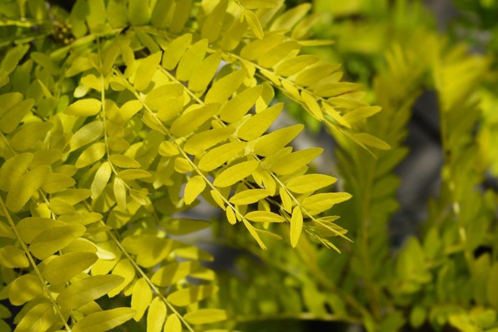 Closeup of honey locust tree leaves.