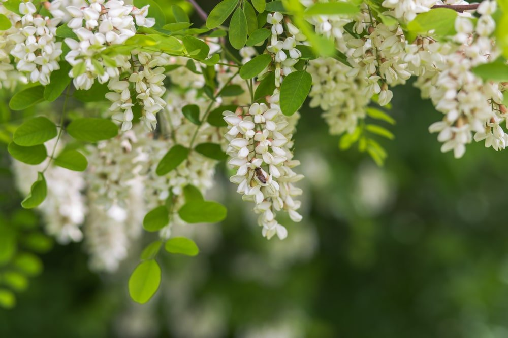 Honey locust flowers