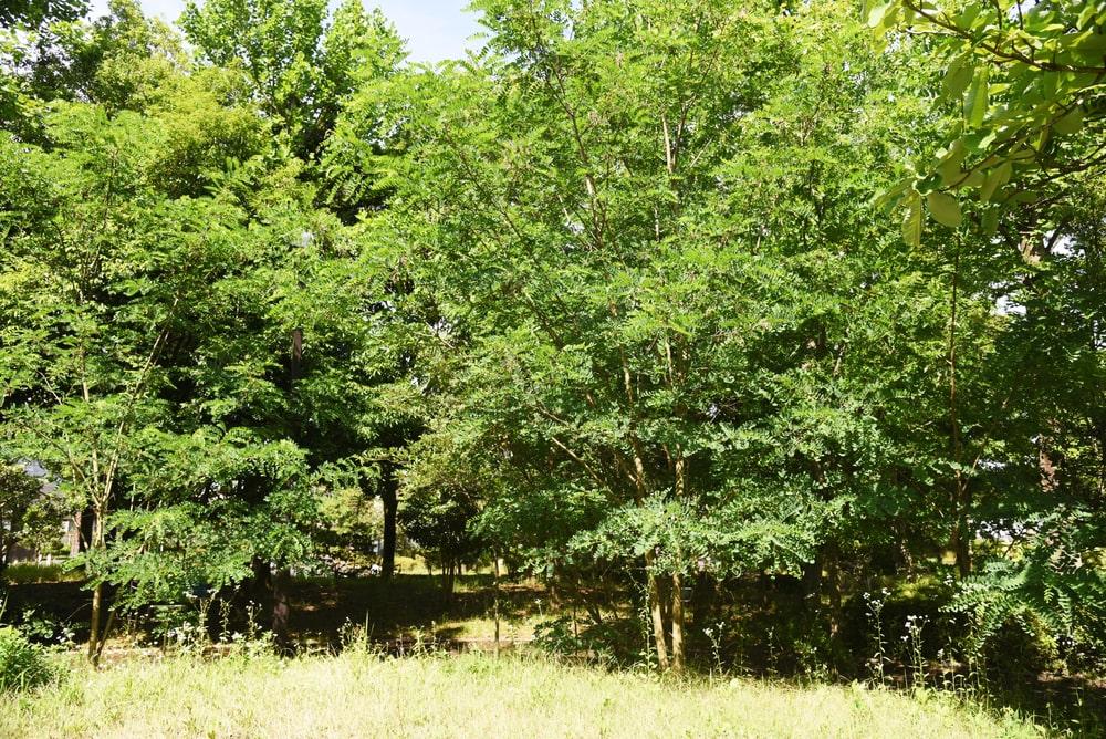 Honey locust tree seed pod and leaves.
