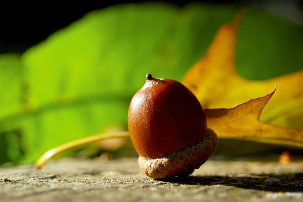 Acorn with oak leaves on the background.