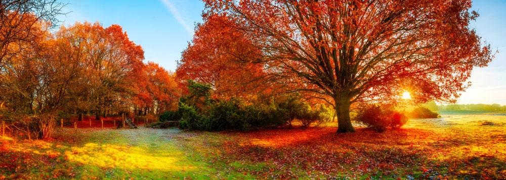 Autumn scenery with huge oak trees.