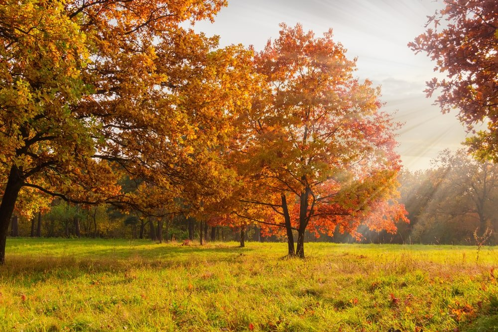 Red oaks with autumn foliage on a park.