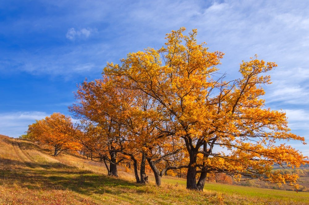 Red oaks stand out against the blue sky.