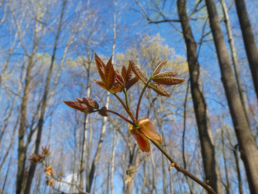 A close look at a pignut hickory tree's young leaves.