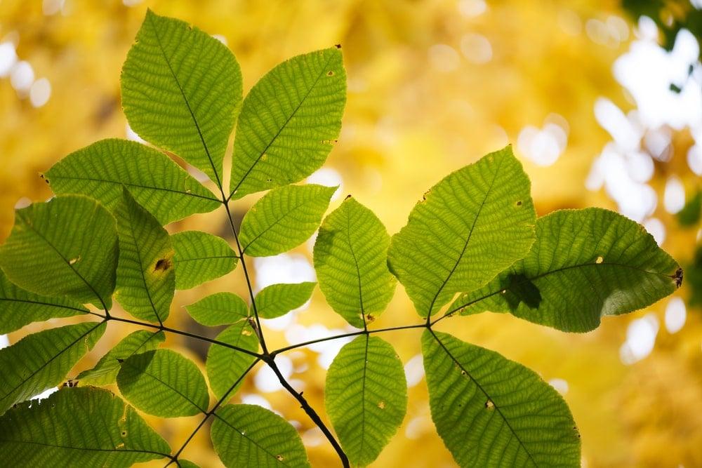 Leaves of a shagbark hickory tree.