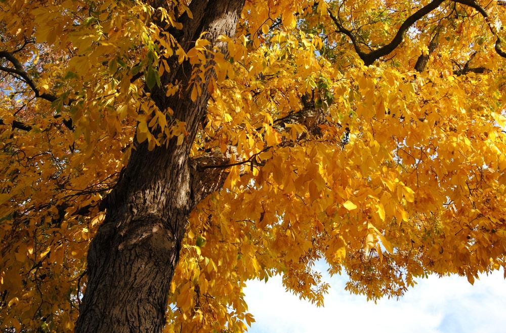 Golden yellow autumn-foliage of the bitternut hickory tree.