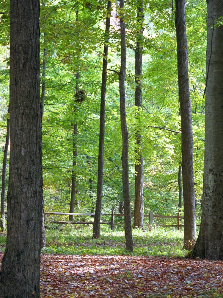Forest filled with hickory trees.