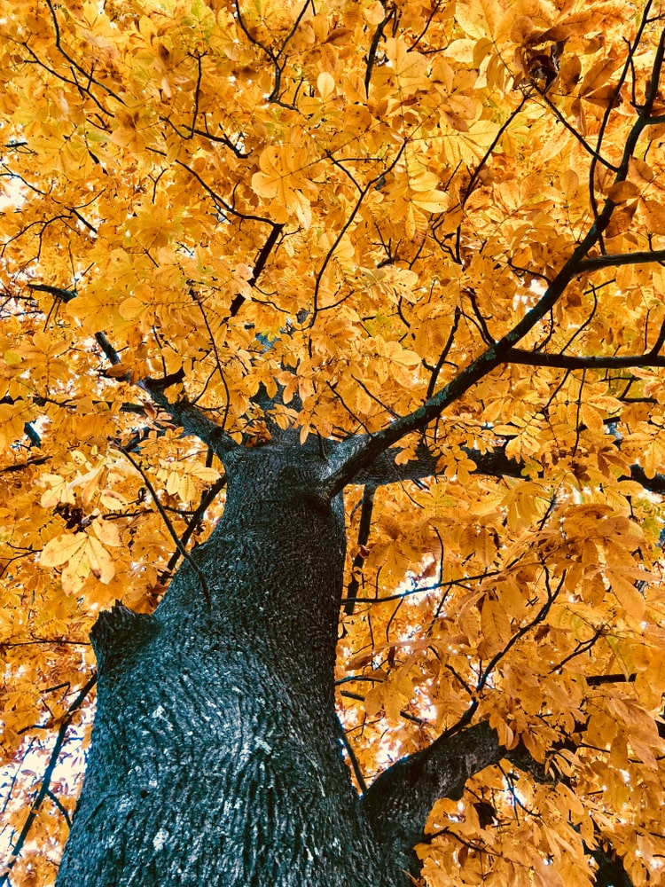 A closeup of hickory tree in autumn.