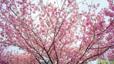A close look at a pin cherry tree blooming.