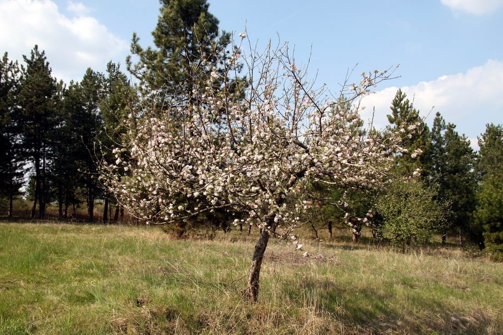 A lone pin cherry tree in a meadow.