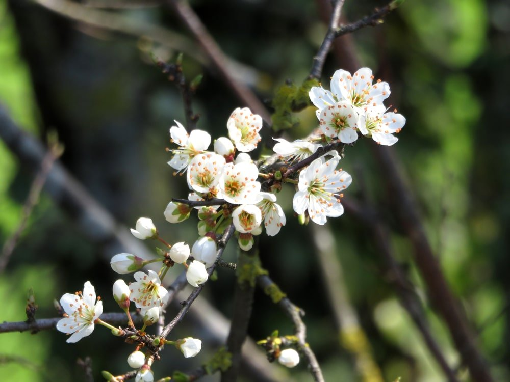 A close look at a blossom of a pin cherry tree.