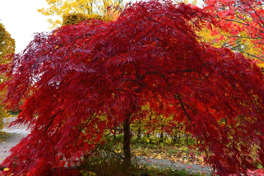 Japanese red maple tree during autumn.