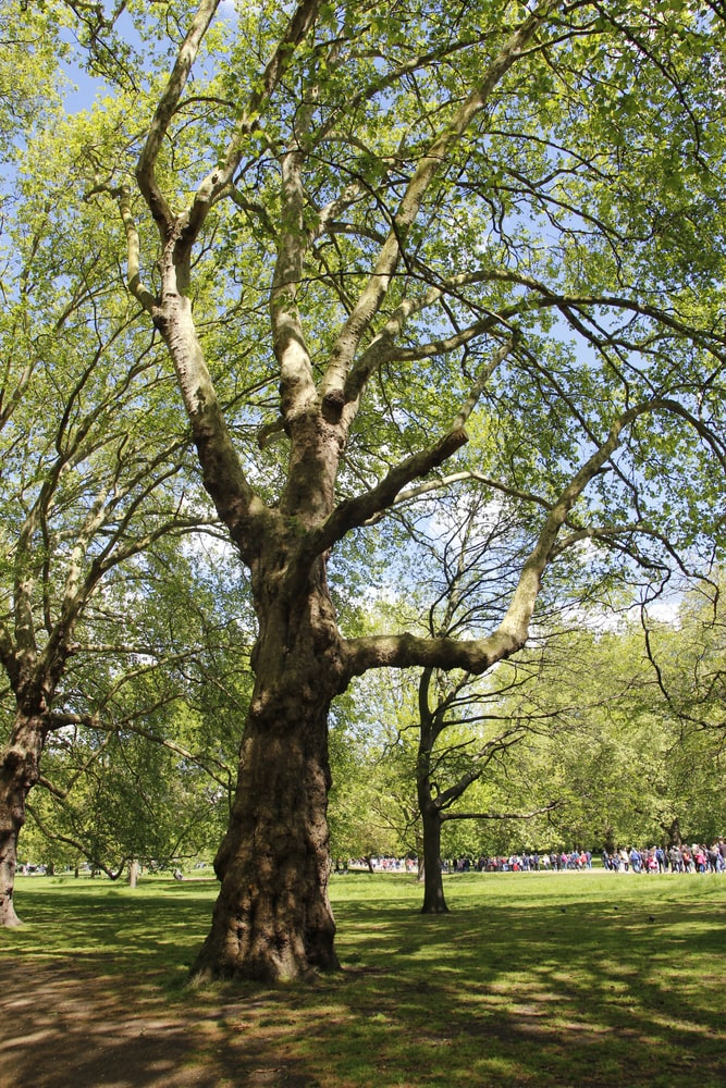 Tall silver maple trees