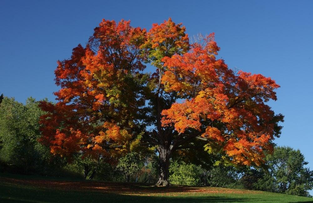 Sugar maple tree