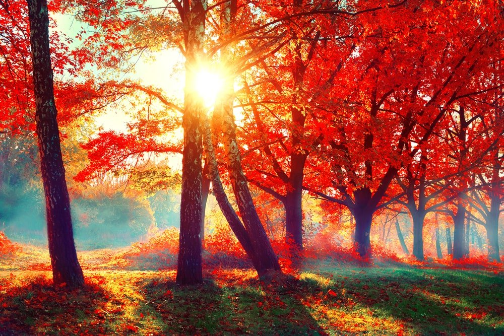 Red maple trees in a foggy forest with sunlight rays.