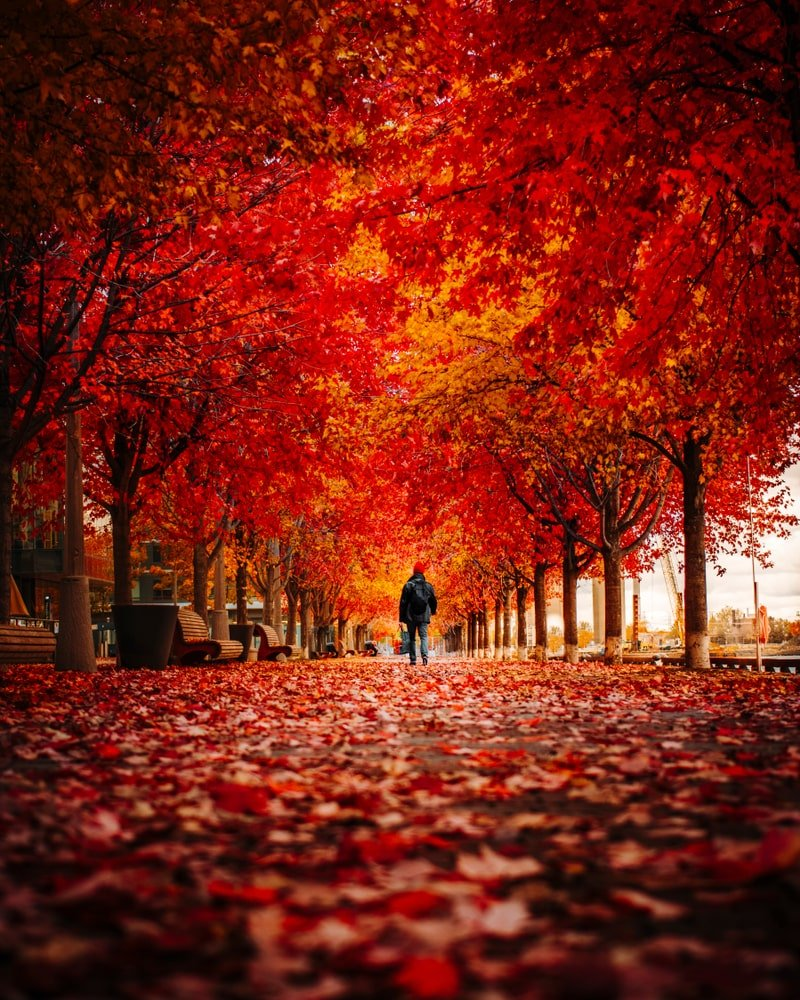 Beautiful autumn scene with red maples.