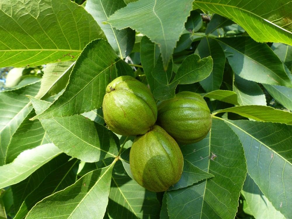 Fruits of the shagbark hickory.