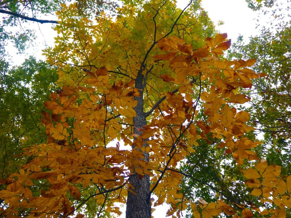 Mockernut hickory during fall.