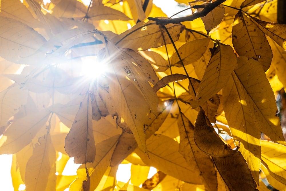 Sun shining through the golden yellow leaves of shagbark hickory.