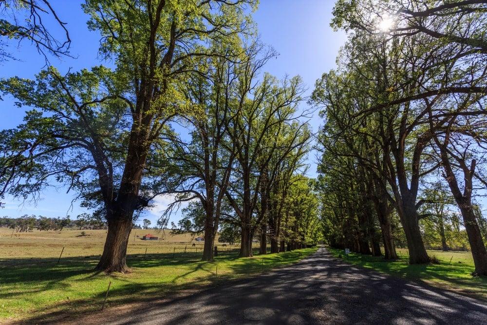 English Elm trees flanking the street.