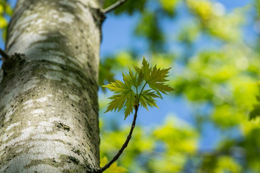 Closeup of a silver maple tree trunk with new leaves.