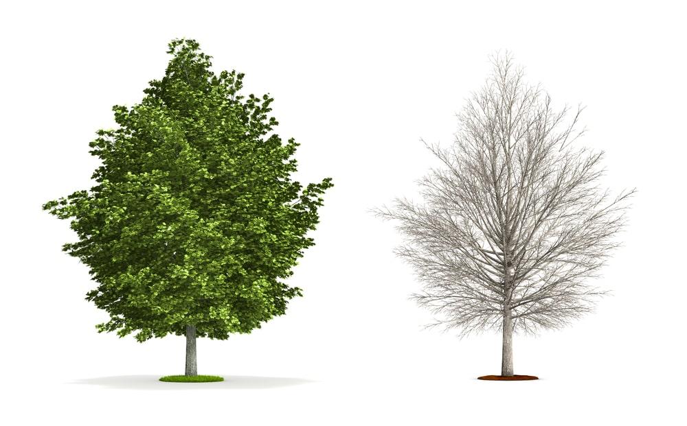 Silver maple tree vectors