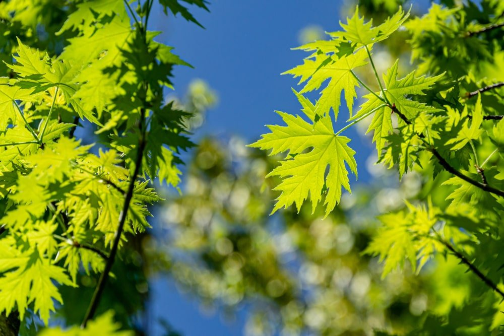 Young, green leaves of a silver maple tree.