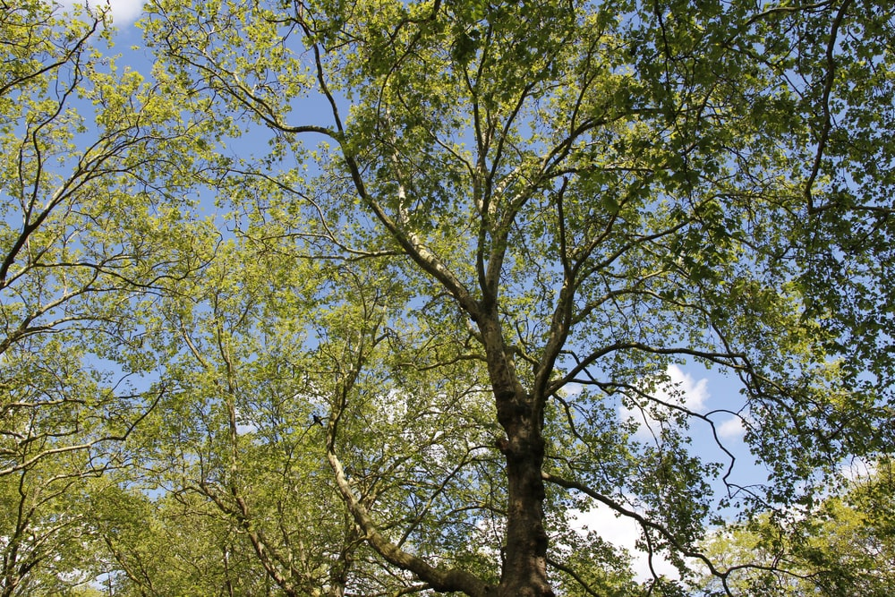 Silver maple trees on a sunny day.