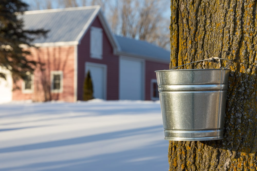 Tapping maple trees for their sap.