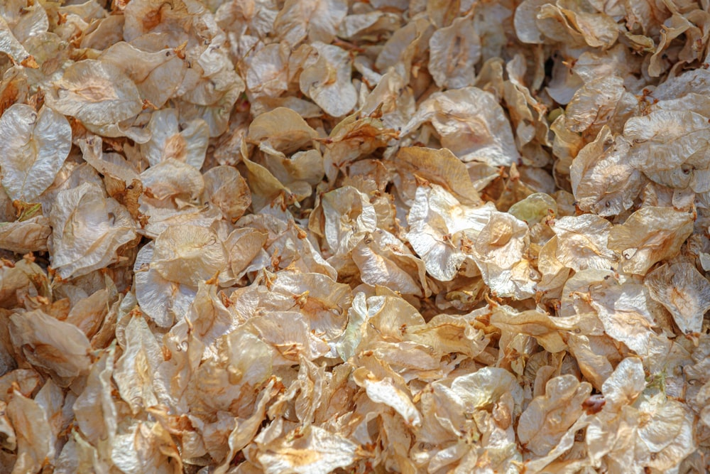 A close look at the dried petals of elm tree blooms.