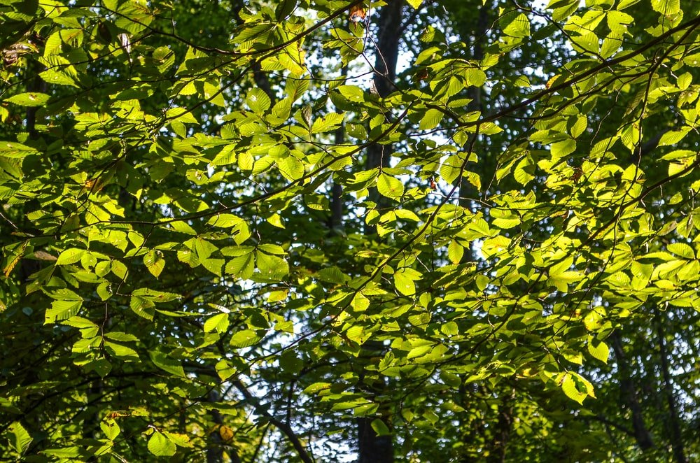 A close look at the leaves and branches of a slippery elm tree.