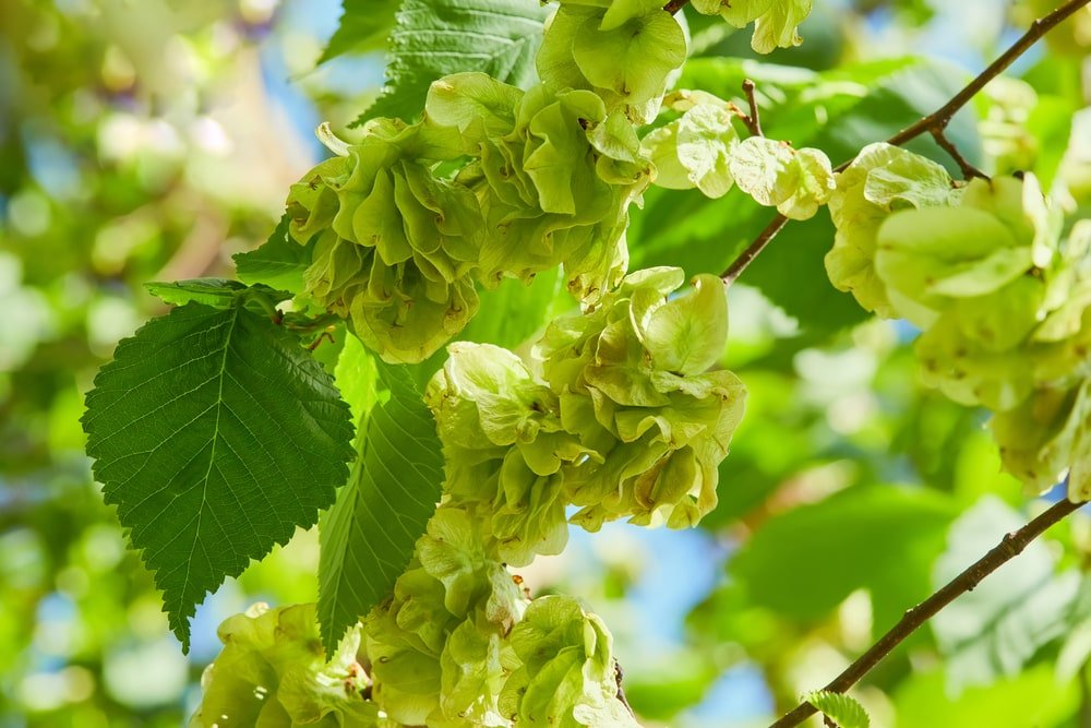 A close look at the blooms of a slippery elm tree.