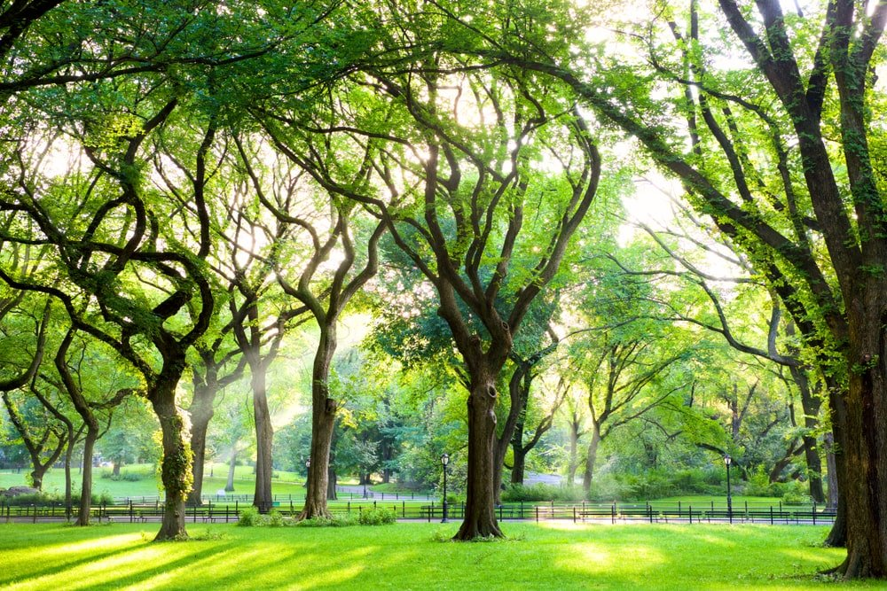 A look at tall mature slippery elm trees in a park.