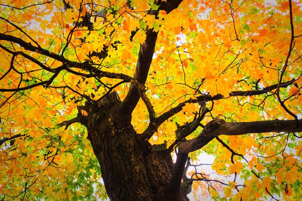 Closeup of sugar maple tree with fall foliage.