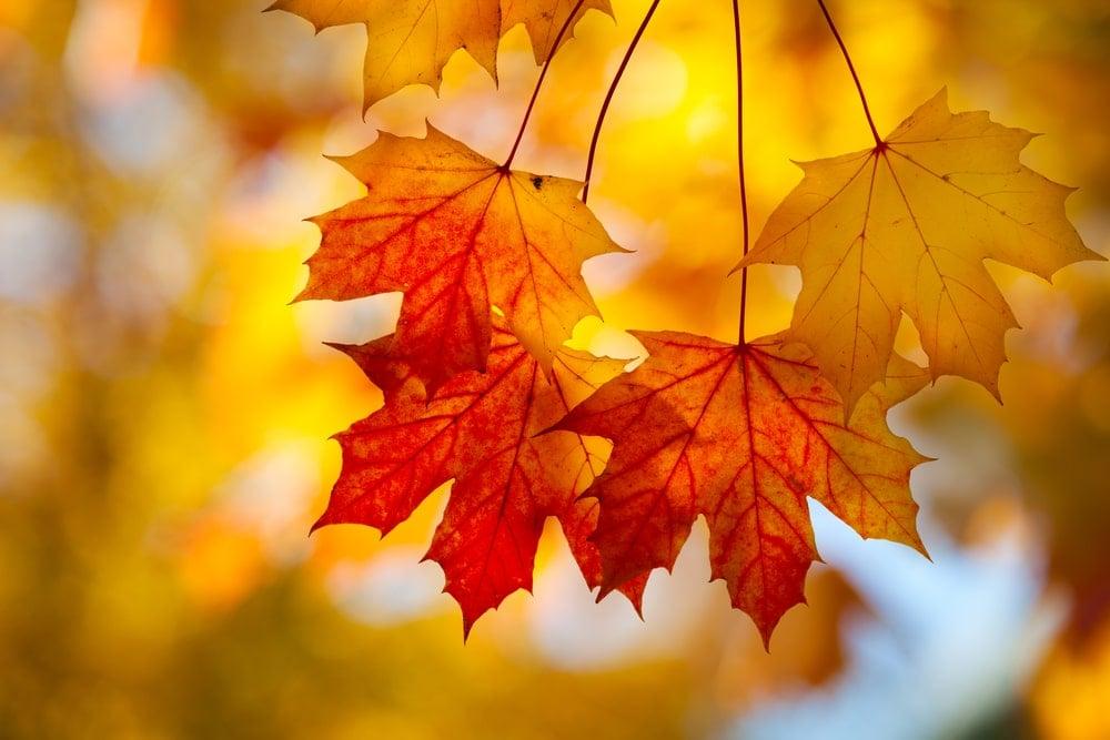 Sugar maple autumn leaves