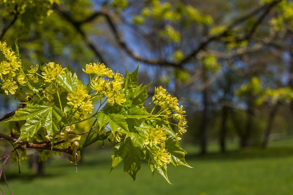 Flowers of a sugar maple tree