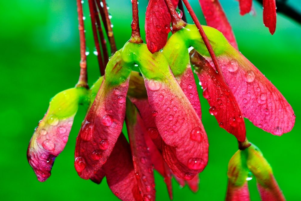 Sugar maple seeds