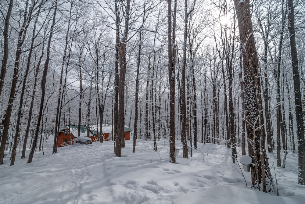 Sugar shack in maple woods during winter.