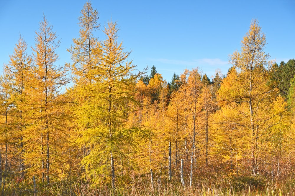 Tamarack trees with golden yellow leaves.