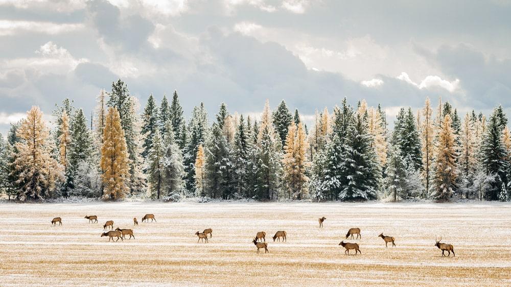 Elk grazing a snowy field near firs and tamarack trees.